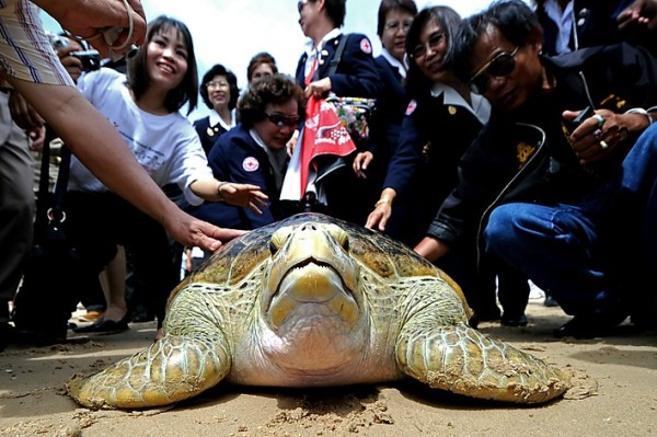 Thai officials touch a sea turtle being